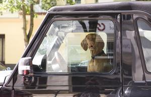 En hund räknas som last och måste vara säkrad under färd i bilar. Men några böter för hundar som är lösa i bilar delar inte polisen ut.