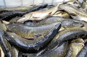 Gäddrikt. Totalt drog de tävlande upp cirka 560 kilo ur sjön Unden under lördagens tävling.