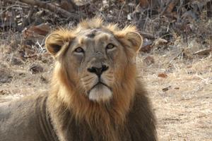 Asiatiskt lejon.
