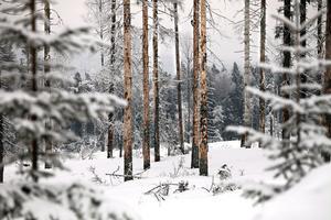 Normalt klarar träden av mindre angrepp, men när granbarkborrarna blir för många dör de.