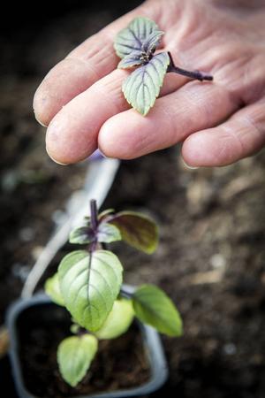 Basilika är lätt att lyckas med i växthus - men nästan omöjlig att odla utomhus.