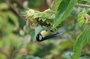 Fåglarna sprättade frön från fågelbordet den gånga vintern och detta gjorde att dessa frön grodde och blev till nya solrosor. Nu passar de på att smaka av årets skörd.
