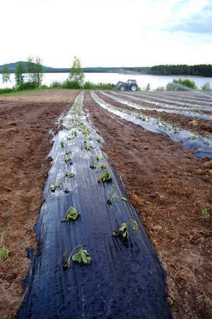 I helgen satte de 3000 plantor för hand. Den första augusti åker resterande i marken.