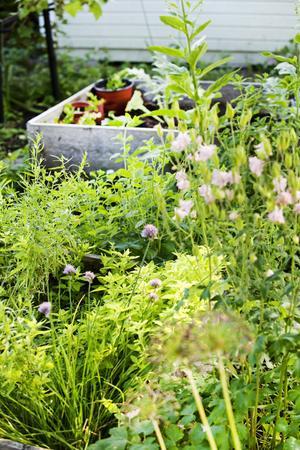 Naturen får ha sin gång i Anne-Maries trädgård. Här växer bland annat alunrot, murrevor, nävor, leverbalsam precis som de vill.