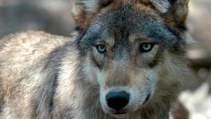 Vargen på bilden är inte samma varg som i artikeln.
