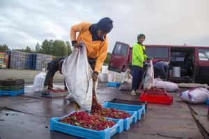 Omkring 900 bärplockare från Thailand har anställts och de flesta plockar flera ton bär på en säsong.