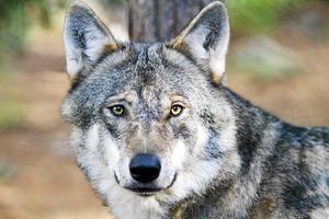 Vid varje föryngring beräknas ge cirka tio vargar. De tre senaste åren har vargstammen minskat enligt Naturvårdsverket.