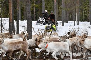 Mikael Andersson driver renarna åt rätt håll efter det att tidninegns fotograf agerat stoppkloss.