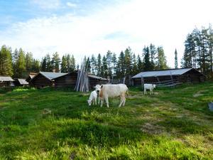 I Hedbodarnas fäbod produceras ost, smör och messmör från handmjölkade kor. Foto: FSF