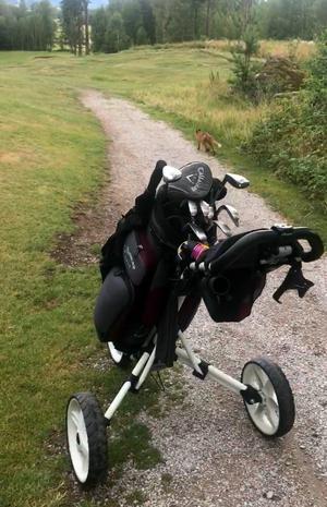 Räv på Dalsjö golfbana, Borlänge.