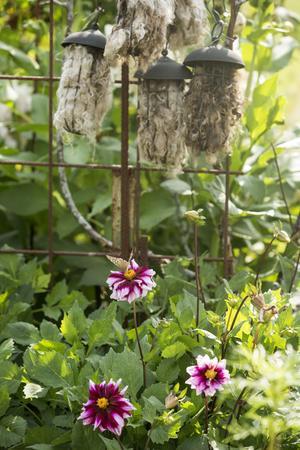Karin hoppas att rådjuren ska hålla sig borta från hennes blommor med hjälp av rådjursskrämmorna med fårull i.