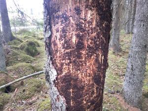Under barken finns spåren efter granbarkborrarna. De bredare spåren är från vuxna insekter som ätit sig in för att para sig, de smalare spåren är från larver. Granen är så gott som död.