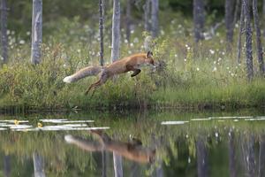 Fotat av  Anders Reijer från sitt gömsle i  Vartius, vid finsk-ryska gränsen.