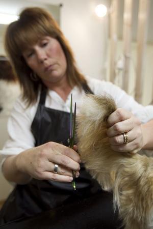 Emma får behålla sin fina plym på svansen. Susanne Arousell klipper till formen.