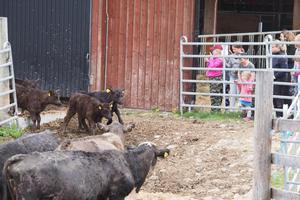 Några av kalvarna tog det lite lugnt och kom först när kossorna kallade ut dem.