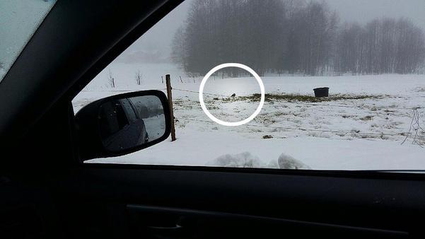 Kjell-Erik Karlsson satt i bilen när han fotograferade tofsvipan så bilden blev en aning oskarp, men han såg fågeln på nära håll. När han gick in i hästhagen för att ge havregryn till den gick den till attack.