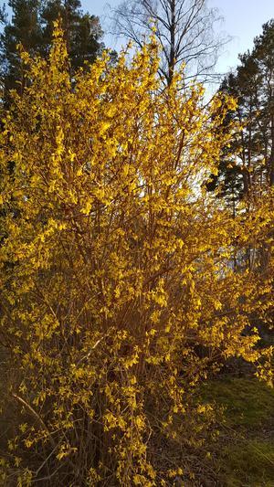 En färgklick i trädgården med Forsythiabusken. Foto: Pernilla Gerdlöf Stefansson