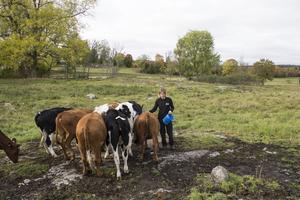 Annette Gustawson ute bland kalvarna i hagen. – Att vara ute bland djuren är det bästa med det här jobbet, säger hon.