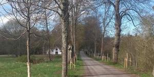 48 nya lindar har planterats i de två herrgårdsalléerna i Skebobruk. Foto: Privat