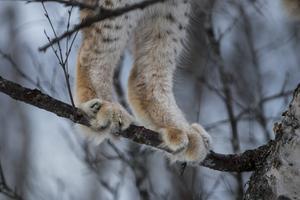 Lodjuret som dödades har skickats iväg på analys, eftersom det är så kallat Statens vilt.