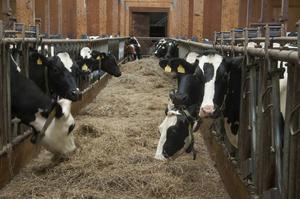 Över 100 mjölkkor bor på Åsra gård.