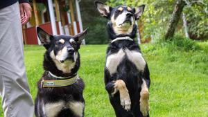 Ylle och Signe heter Marias två hundar som varit med och tävlat i många tävlingar. Sin första hund, skaffade Maria när hon flyttade hemifrån vid 20-årsåldern.
