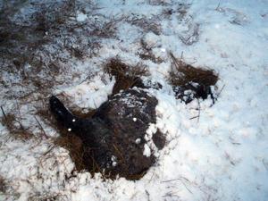 Ett av de döda fåren ute i hagen.