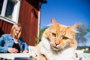 Bondkatten Kisen tycker att ordningen börjar bli återställd hemma på gården.