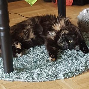 450) Här är en av mina  busiga å lite knasiga  katter som heter Eleanor men kallas Ellie.född på Amerikas independence day 4 juli 2018 där av namnet Foto: Monica Sundström