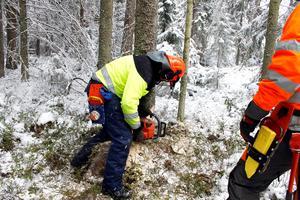 - Att gå ut med motorsåg kräver specialkunskaper och erfarenhet, säger Kjell Andersson, skogskonsulent på Skogsstyrelsen. Foto:TT
