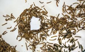 Mjölmaskarna samlas kring en mumsig plastbit.