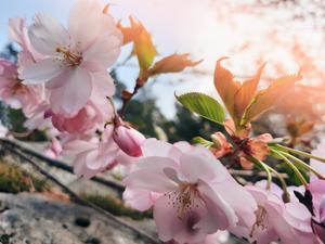 Hedersomnämnande. Körsbärsträden blommar och inget är väl så talande för våren som just detta. Kompositionen är dessutom mycket vacker, ljuset vårhärligt. Foto: Ebba Hagström
