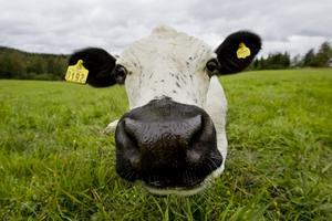 Kon på bilden har inget med händelsen att göra. Foto: Arkiv