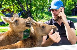 För några dagar sedan var älgkalvarna hungriga och otrygga utan sin mamma – nu är de välmående och pigga hos familjen Eriksson.