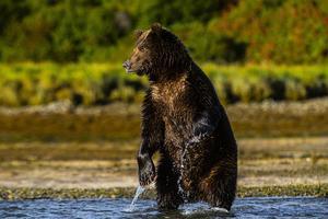 Grizzlybjörnarna i Katmai kan bli dokumentärfilm på SVT. Foto: Marcus Möller