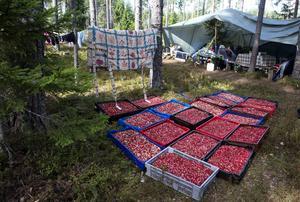 Bulgariska bärplockare slog läger i skogarna runt Tierp i norra Uppland, 2013. Foto Bertil Enevåg Ericson / SCANPIX