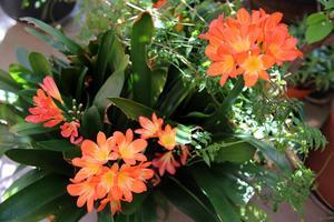 Blommande clivia.