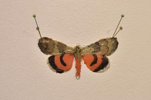 Fjärilar som minnen uppnålade på väggen.