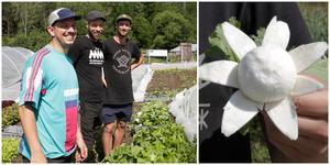 Yannick Porter, Robin Tidblom och Ossian Tidblom skördar majrovor. Ossian Tidblom gillar rotfrukten, inte bara för att det går att skära en blomma av den.