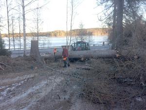 Under onsdagen kapades trädet upp. Bild: Privat