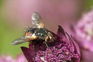 En parasitfluga på många insekters favorit - stjärnflockan.