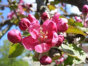 Trädgårdsfavorit i maj när våren slutat tveka..