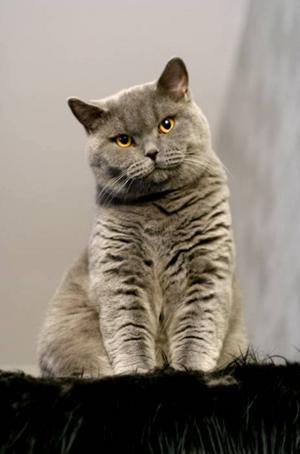 11. Larry, Brynäs. Larry är en blå brittisk korthår, han är 1,5 år gammal. Han är otroligt social och vill vara nära, berättar matte Susanna Strömberg. Larry är ständigt nyfiken på vad matte eller hans kattkompisar hittar på.