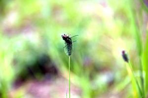 Stefan Olander berättar att det är väldigt rik växtlighet i år, på grund av allt regn. Det har däremot varit färre insekter. Men två blombockar hittade vi, de första Stefan sett i år. Och det verkar bli fler, som det ser ut.