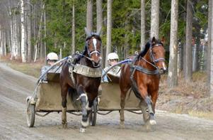 Travtränare har ett fullspäckat schema när de tränar sina hästar. Här får Dats Marido och Labolina Bob sträcka ut på Östersundstravets rakbana.