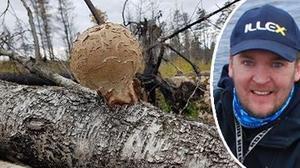 Den här svampen hittade Jonas Norrmén (th) växandes på ett träd i brandområdet.