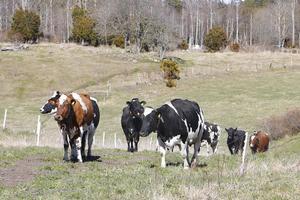 Lokala mjölproducenter introducerar ny produkt på marknaden. Roslagsfilen.