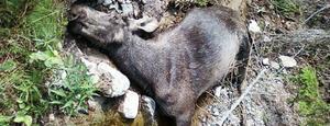 En påkörd älg lämnades förra veckan att dö i ett dike nära Svartvallssjön.