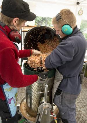 Krossad frukt hälls ner i pressen där den klara fruktsaften silas ut för att sedan pastöriseras och förpackas.