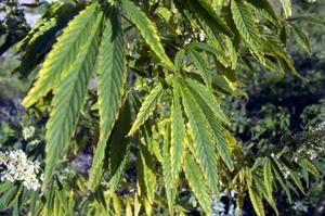 Så här ser de ut, löven på hampa, eller som växten heter på latin - cannabis sativa.